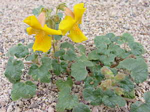 Proboscidea althaeifolia - Desert Unicorn-plant, Golden Devil's Claw