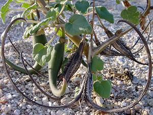Proboscidea parviflora - Doubleclaw, Devil's Claw, Unicorn Plant
