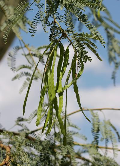 Prosopis velutina - Velvet Mesquite (green bean pods)