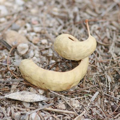 Prosopis velutina - Velvet Mesquite (dry bean pod)