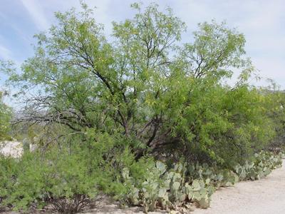 Prosopis velutina - Velvet Mesquite