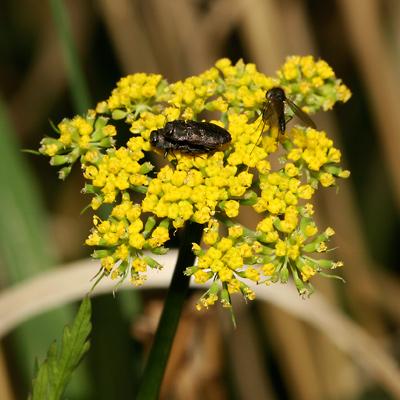 Pseudocymopterus montanus - Alpine False Springparsley, Mountain Parsley (flowers)