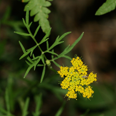 Pseudocymopterus montanus - Alpine False Springparsley, Mountain Parsley