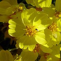 Common Wildflowers - Psilostrophe cooperi – Whitestem Paperflower