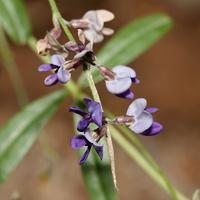 Purple and Blue Flowers - Psoralidium tenuiflorum – Slimflower Scurfpea