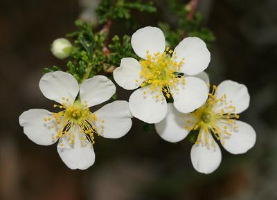 Purshia stansburiana - Stansbury Cliffrose, Stansbury's Cliffrose, Quininebush (flowers)