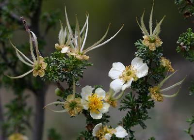 Purshia stansburiana - Stansbury Cliffrose, Stansbury's Cliffrose, Quininebush (seed plumes)