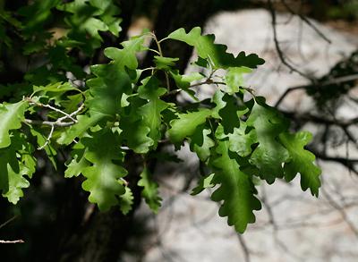 Quercus gambelii - Gambel Oak, Gambel's Oak