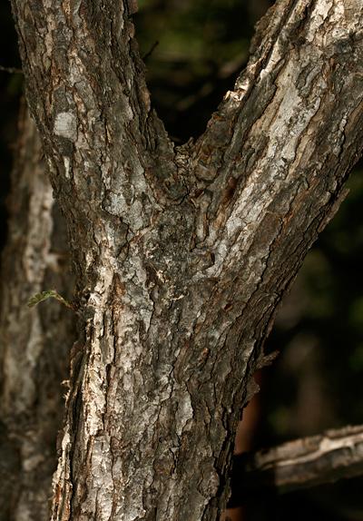 Quercus gambelii - Gambel Oak, Gambel's Oak (bark)