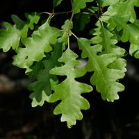 Inconspicuous Flowers - Quercus gambelii – Gambel Oak