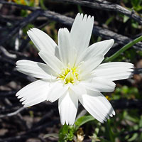 White Flowers - Rafinesquia neomexicana – New Mexico Plumeseed