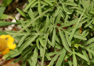 Ratibida columnifera - Upright Prairie Coneflower, Redspike Mexican Hat, Long-headed Coneflower, Thimbleflower, Mexican Hat Plant, Columnar Prairie Coneflower (leaves)