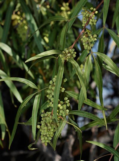 Rhus lancea - African Sumac, Karee, Western Karee, Willow Rhus (fruit)