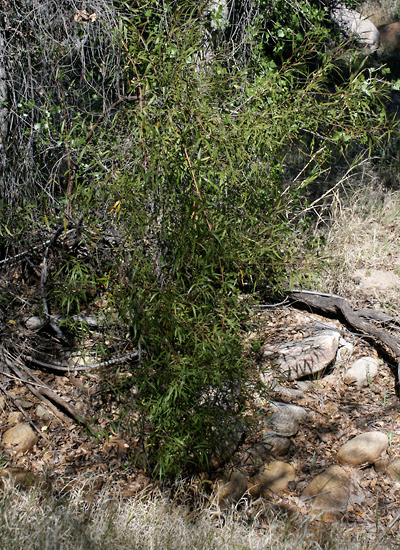 Rhus lancea - African Sumac, Karee, Western Karee, Willow Rhus
