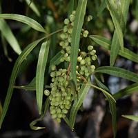 Conspicuous Fruit or Cones - Rhus lancea – African Sumac