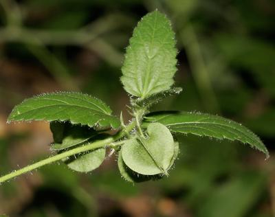 Rhynchosida physocalyx - Buffpetal, Buff Petal, Tuberous Sida, Bladderpod Sida (fruit calyx)