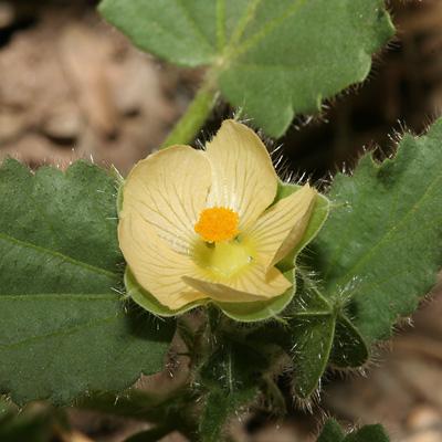 Rhynchosida physocalyx - Buffpetal, Buff Petal, Tuberous Sida, Bladderpod Sida (flower)