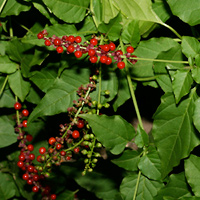 Conspicuous Fruit or Cones - Rivina humilis – Rougeplant