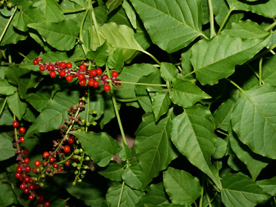 Rivina humilis - Rougeplant, Rouge Plant, Pigeonberry, Pigeon Berry, Bloodberry, Coralito (fruit)