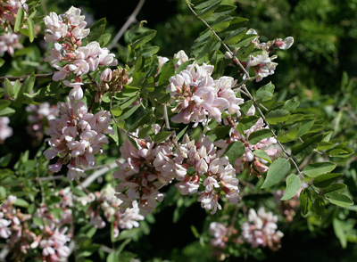 Robinia neomexicana - New Mexico Locust, New Mexican Locust