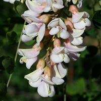 Pink Flowers - Robinia neomexicana – New Mexico Locust
