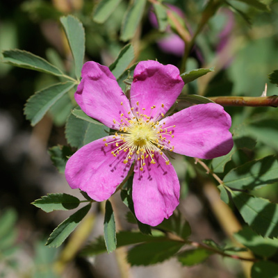 View photographs and a description of the plant Rosa woodsii, commonly known as Woods' Rose, Wood's Rose, Common Wild Rose, Western Wild Rose, or Mountain Rose (flower)