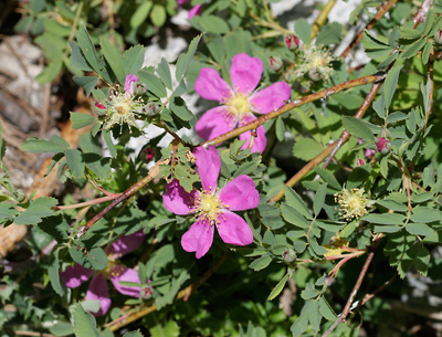 View photographs and a description of the plant Rosa woodsii, commonly known as Woods' Rose, Wood's Rose, Common Wild Rose, Western Wild Rose, or Mountain Rose