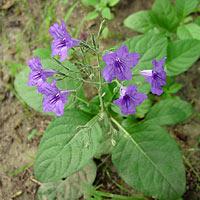 Purple and Blue Flowers - Ruellia nudiflora – Violet Wild Petunia