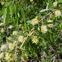 Inconspicuous Flowers - Salix gooddingii – Goodding's Willow