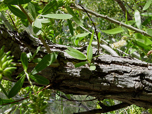Salix gooddingii - Goodding's Willow, Gooding Black Willow (bark)