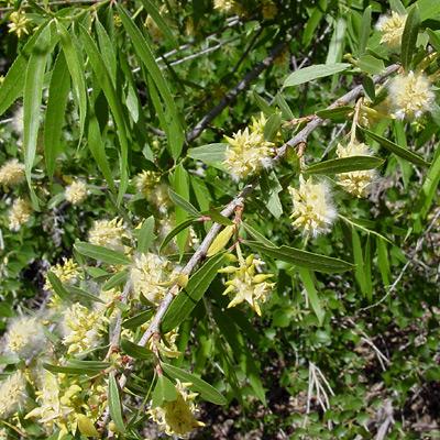 Salix gooddingii - Goodding's Willow, Gooding Black Willow