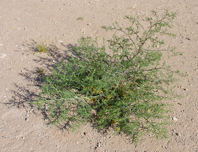 Salsola tragus - Prickly Russian Thistle, Tumbleweed, Common Russianthistle, Tumbling Thistle