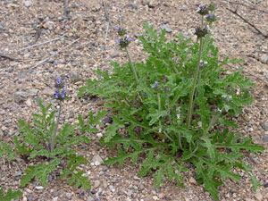 Salvia columbariae - Chia
