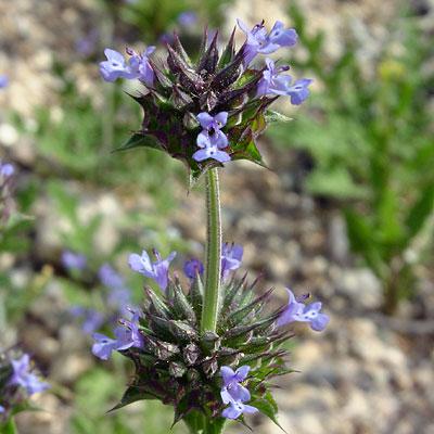 Salvia columbariae - Chia (violet flowers)