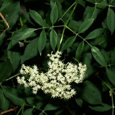 Sambucus nigra ssp. canadensis - American Black Elderberry, Common Elderberry, Mexican Elder (flowers and leaves)