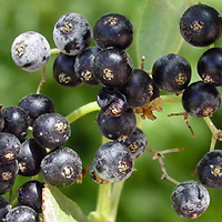 Conspicuous Fruit or Cones - Sambucus nigra ssp. canadensis – American Black Elderberry