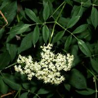 White Flowers - Sambucus nigra ssp. canadensis – American Black Elderberry