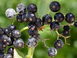 Sambucus nigra ssp. canadensis - American Black Elderberry, Common Elderberry, Mexican Elder (fruit)