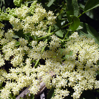 Sambucus nigra ssp. canadensis - American Black Elderberry, Common Elderberry, Mexican Elder (flowers)