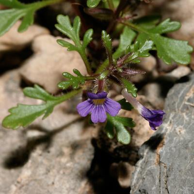 Schistophragma intermedia - Harlequin Spiralseed (flower)