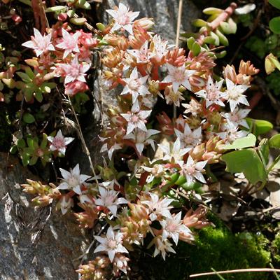 Sedum cockerellii - Cockerell's Stonecrop, Cockerell's Sedum (white flowers)