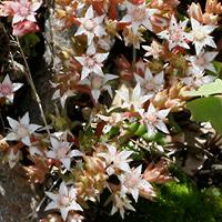 White Flowers - Sedum cockerellii – Cockerell's Stonecrop