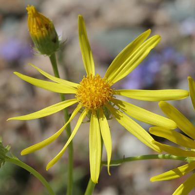 Senecio flaccidus var. monoensis - Smooth Threadleaf Ragwort, Mono Ragwort, Sand Wash Groundsel