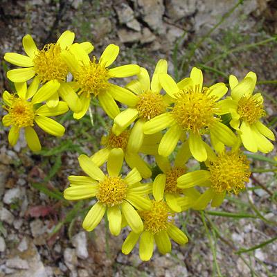 Senecio lemmonii - Lemmon's Ragwort, Lemmon's Butterweed, Lemmon Groundsel