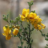 Yellow Flowers - Senna wislizeni – Wislizenus' Senna