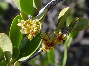 Simmondsia chinensis - Jojoba (flowers)
