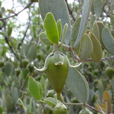 Simmondsia chinensis - Jojoba (fruit)