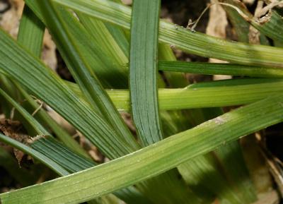 Sisyrinchium demissum - Stiff Blue-eyed Grass, Dwarf Blue-eyed Grass, Blue Star Grass (leaves)