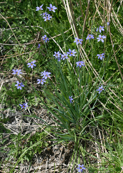 Sisyrinchium demissum - Stiff Blue-eyed Grass, Dwarf Blue-eyed Grass, Blue Star Grass