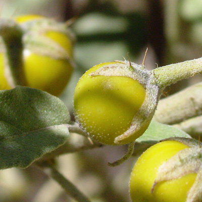 Solanum elaeagnifolium - Silverleaf Nightshade, Purple Nightshade, White Horsenettle, Tomato Weed, Trompillo (fruit)